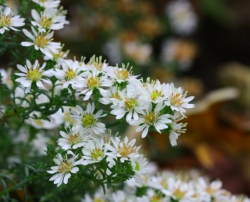 Aster pansus 'Snow Flurry'