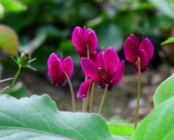 Cyclamen hederifolium 'Dark Purple'