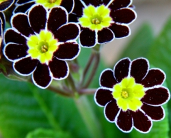 Primula elatior Silver-laced Group